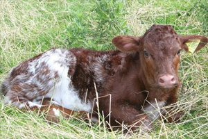 New Calf - Annabel