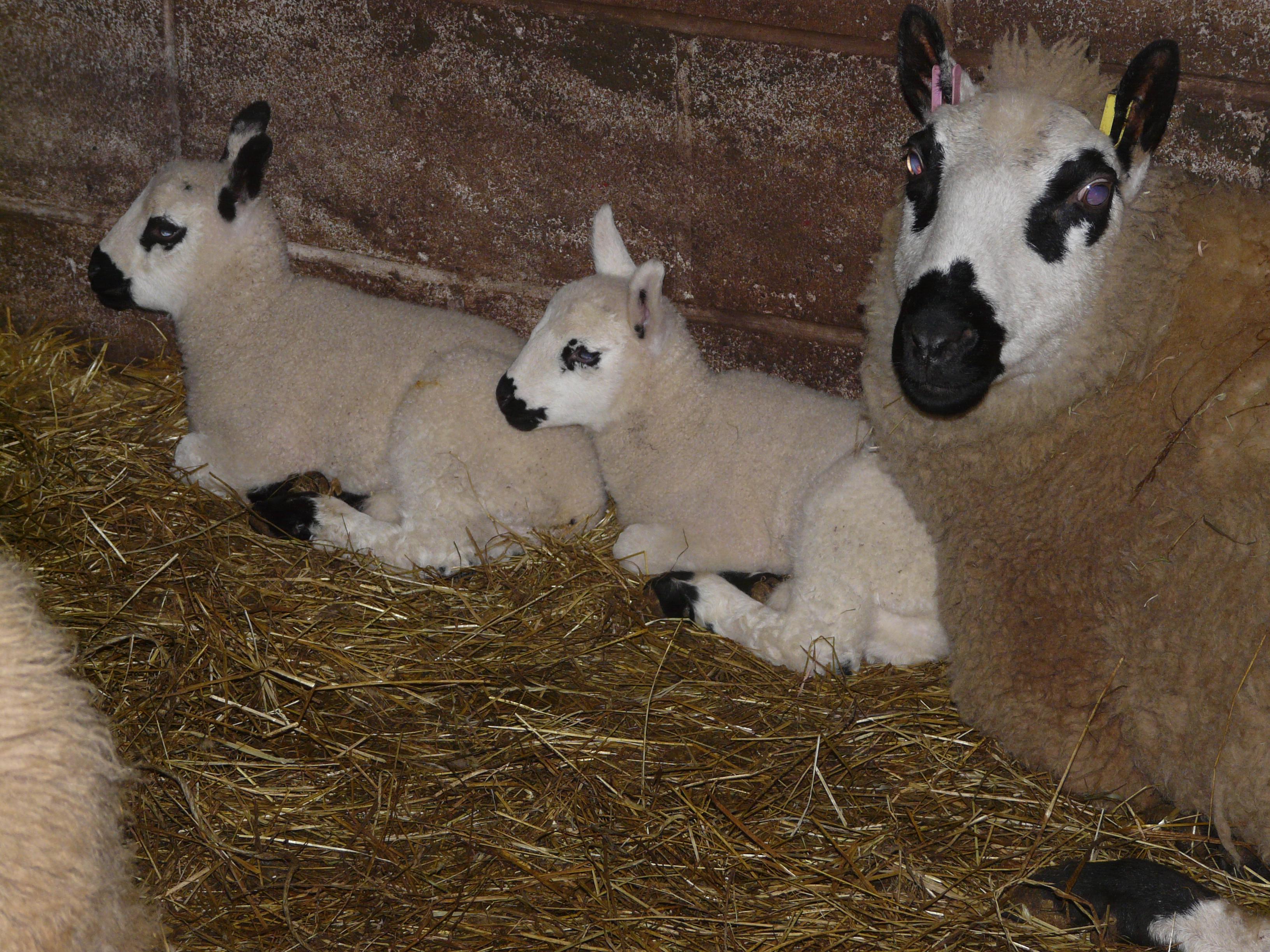 lambs-kerrys-09032020