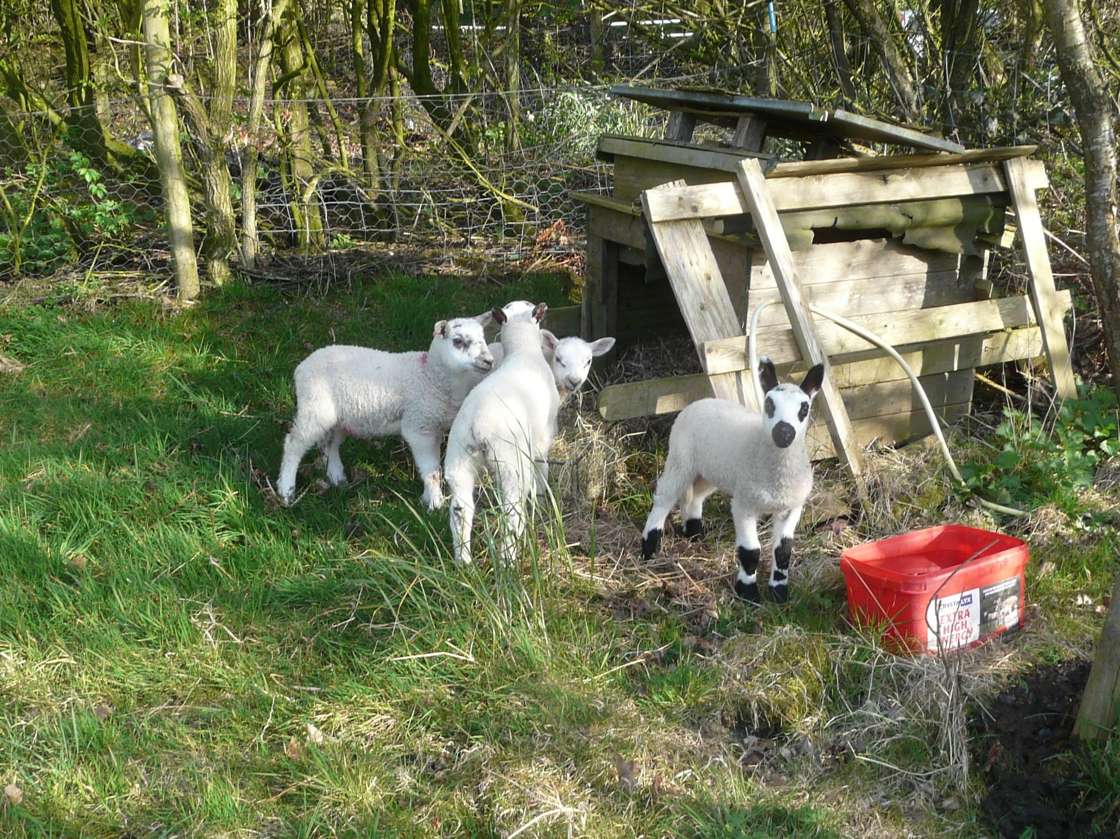 lambs-pet-out-07042020