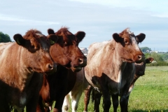 beef shorthorn cows looking may17_resized