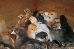 chicks may14