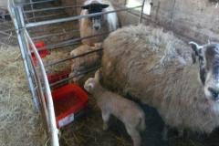 lambs-090220