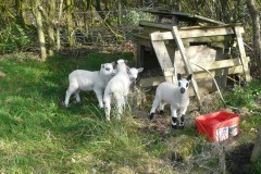 lambs-pet-out-07042020