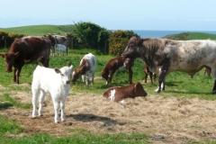 springbank calves may 2016_resized