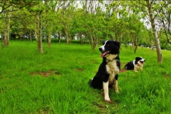 springbank dogs in wood_resized