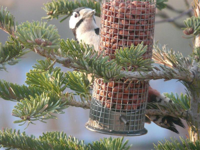 Woodpecker 03032018_resized