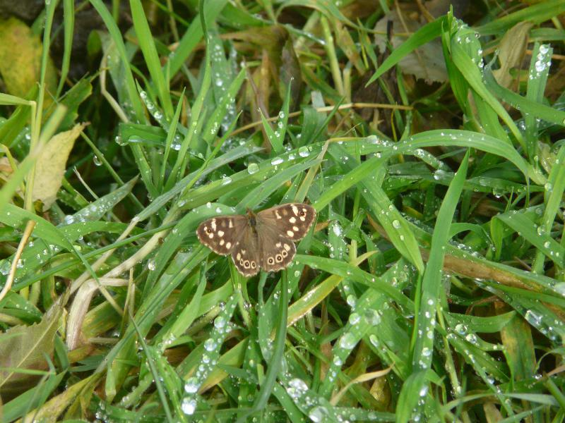 butterfly speckled wood 29092017_resized