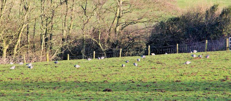 springbank pigeons 22022018_resized