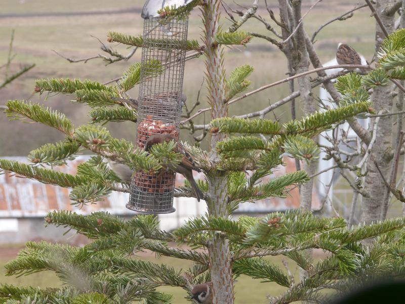 springbank tree sparrows 04032108_resized